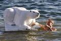 Jegesmedvék fürdése - tizenhatodszor!